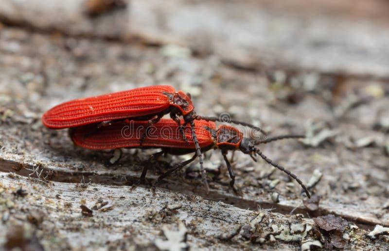联接的红色网飞过的甲虫,在木头的网翅目极光 免版税库存照片