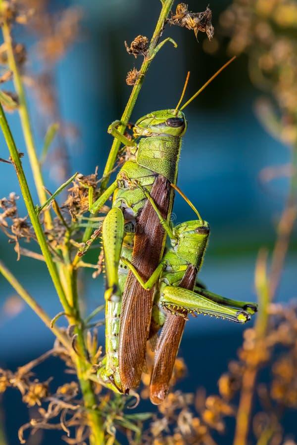 联接的绿色蚂蚱 免版税库存图片