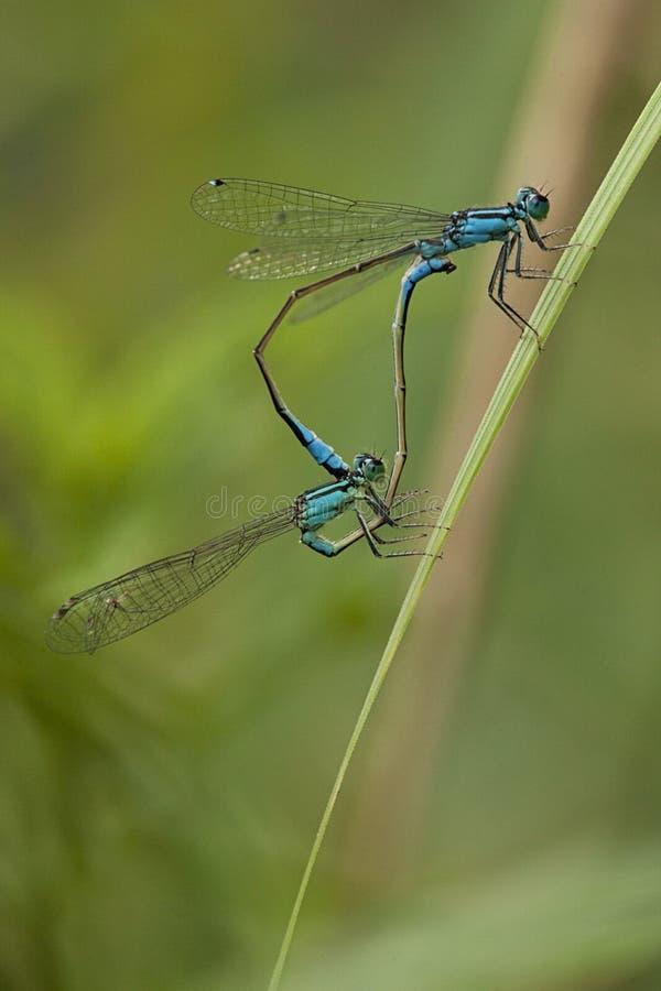 联接的蓝色蜻蜓 库存照片