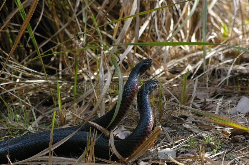 联接的蛇 免版税库存图片