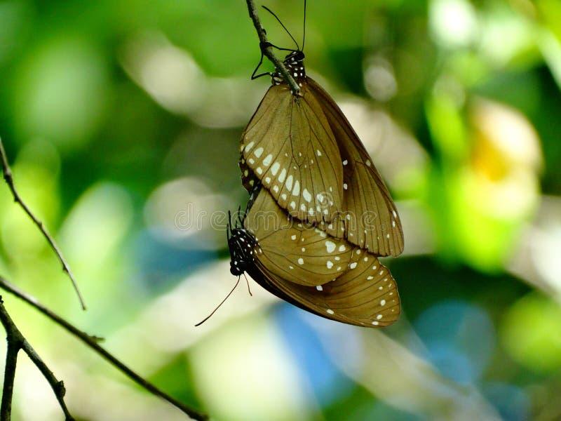 联接的蝴蝶,在彼此的吊 免版税库存照片