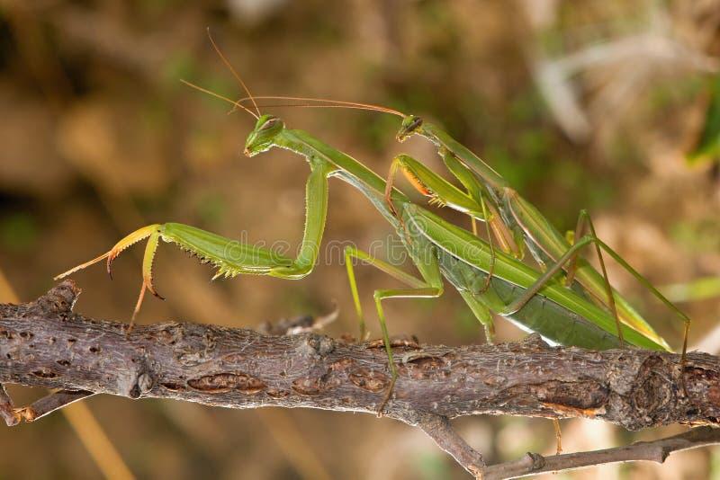 联接的螳螂 库存照片