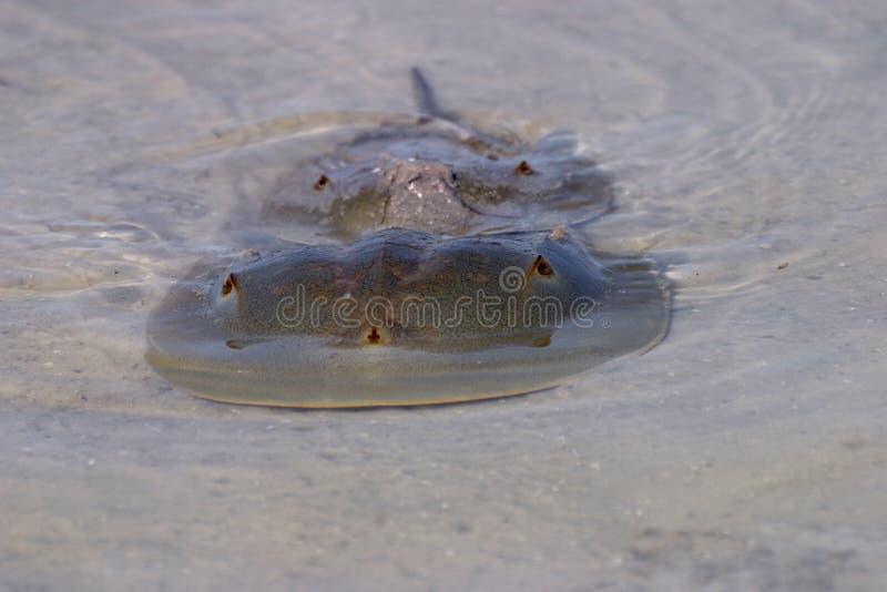 联接的鲎在堡垒德索托国家公园,佛罗里达 免版税库存照片