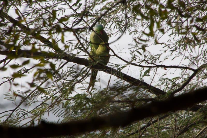 联接的鹦鹉苏丹布尔 免版税图库摄影