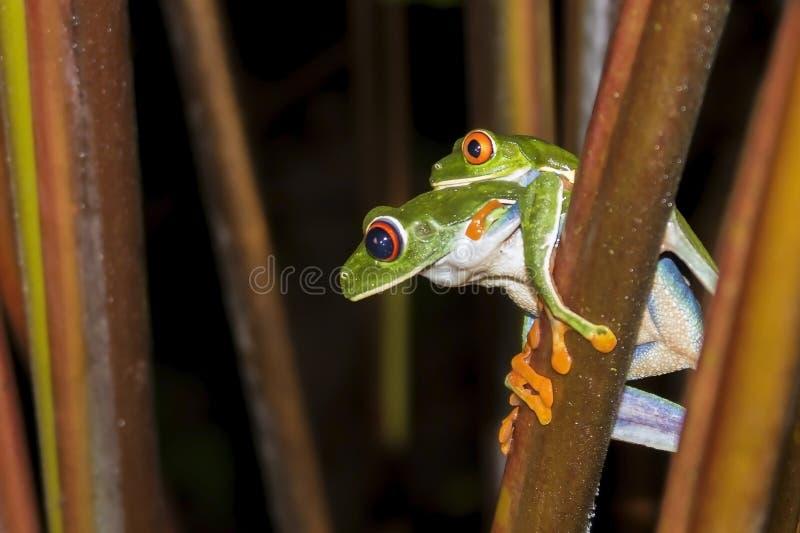 联接紧密外形的对红眼睛的雨蛙 库存照片