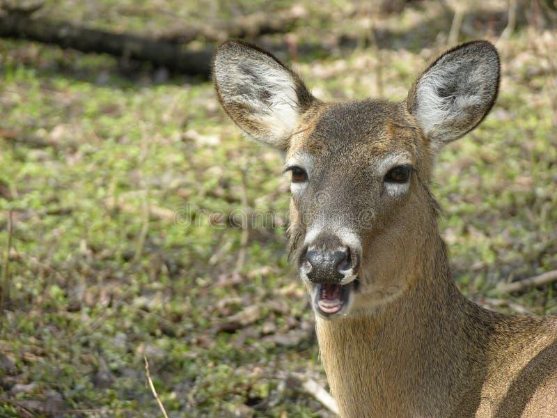 联系的白尾鹿 免版税图库摄影