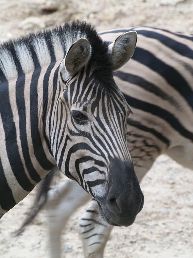 联系目光接触的斑马的特写镜头 免版税库存照片