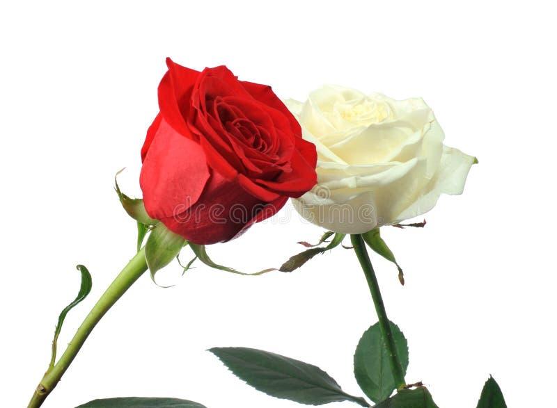 联络红色玫瑰白色 库存照片