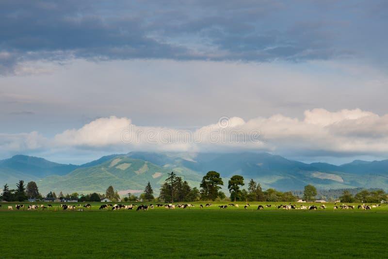 聚光由落日吃草在一个绿色牧场地的奶牛牧群 免版税库存图片