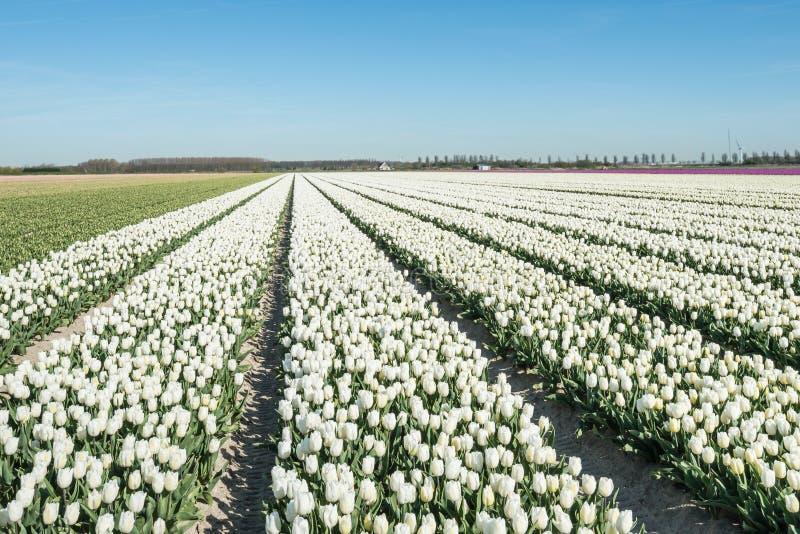 聚合的行白色开花的郁金香植物 免版税库存图片