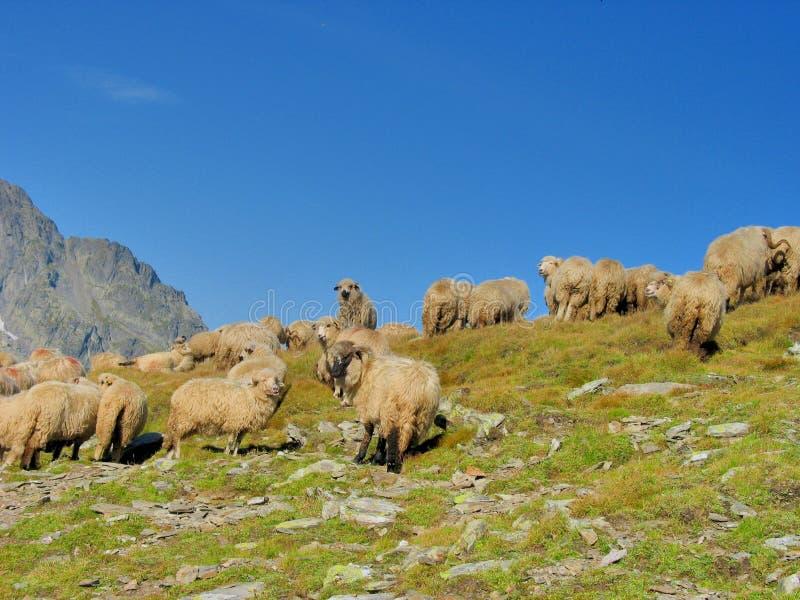 聚集在山的上面的绵羊 免版税图库摄影