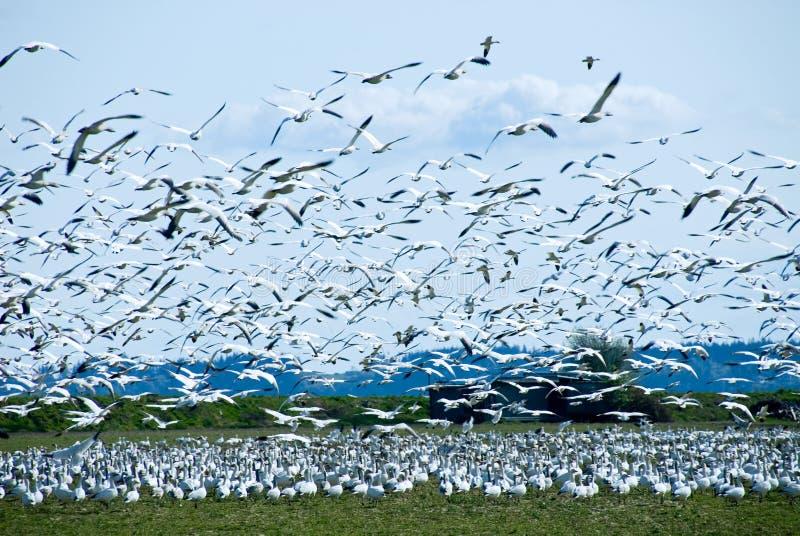 聚集移居雪的鹅 免版税库存图片
