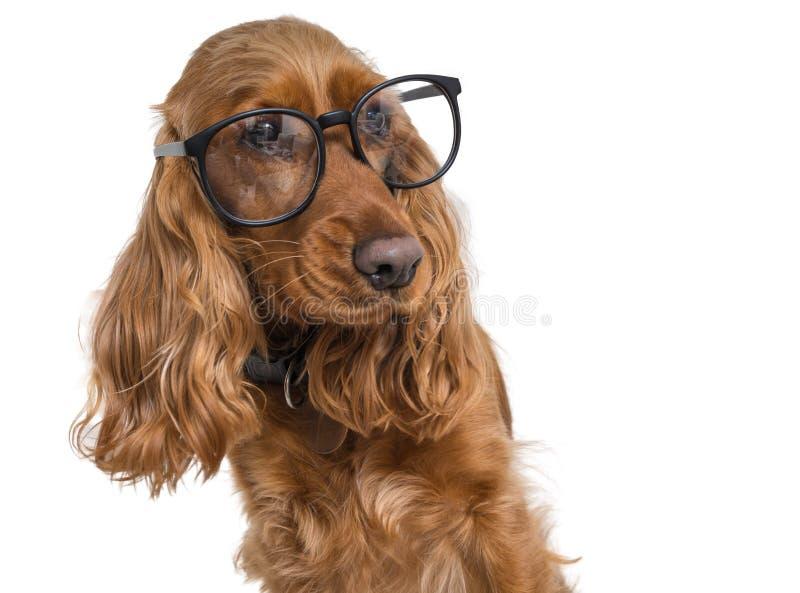 聪明和聪明的狗佩带的镜片 背景查出的白色 免版税库存图片