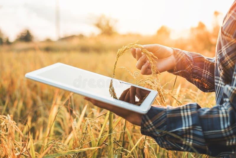 聪明的种田的农业技术和使用研究片剂的有机农业妇女和学习米的发展 库存照片