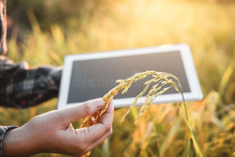 聪明的种田的农业技术和使用研究片剂的有机农业妇女和学习米的发展 免版税图库摄影