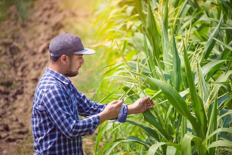 聪明种田,使用数字片剂计算机的农夫在麦地,在收获前的耕种的玉米种植园 库存图片