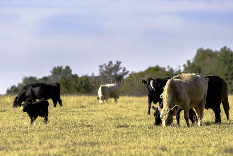 肉用牛牧群在休眠牧场地 免版税库存照片