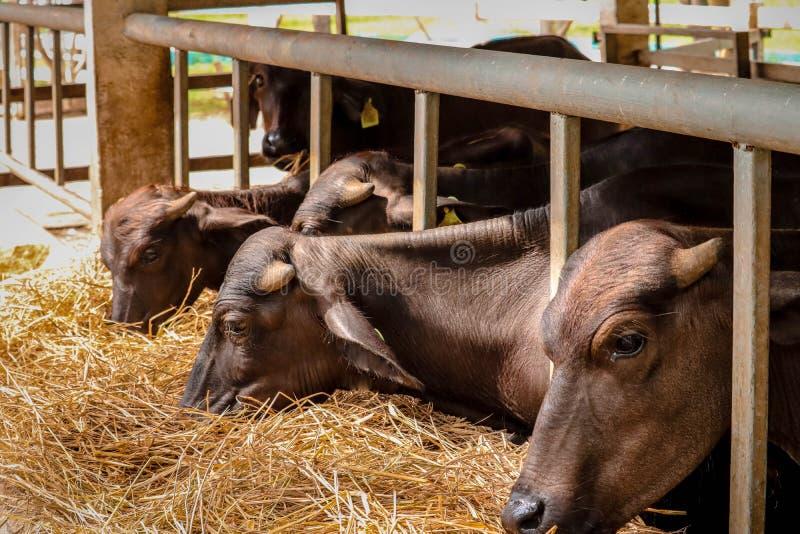 肉用牛种田 免版税库存图片