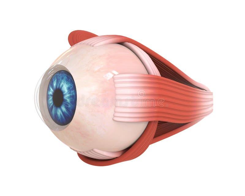 肉眼眼睛外面的肌肉 皇族释放例证
