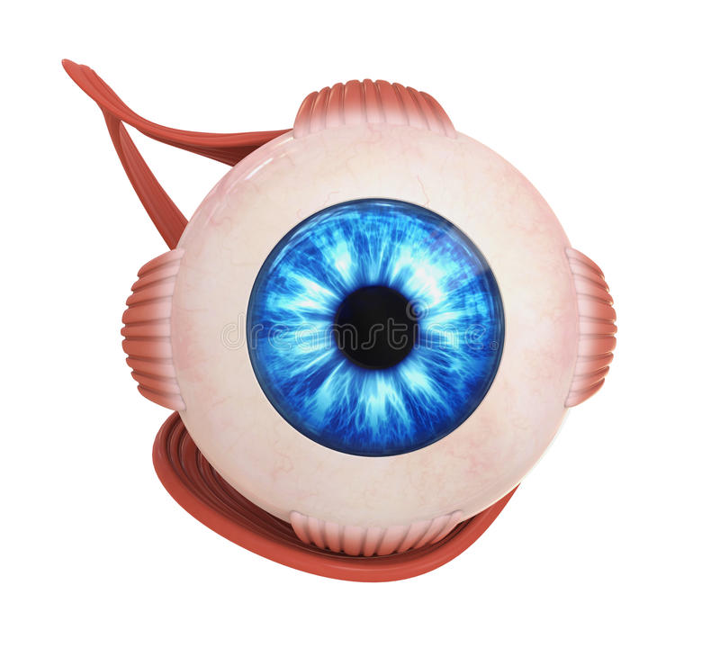 肉眼眼睛外面的肌肉 向量例证