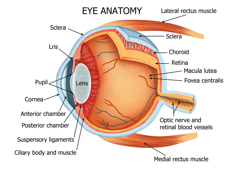 肉眼解剖学 皇族释放例证