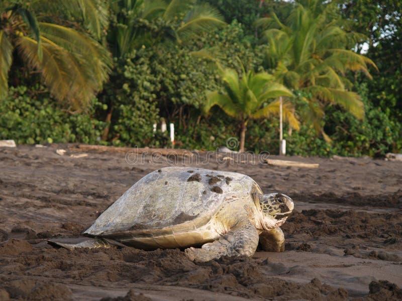 肋前缘国家公园rica海运tortuguero乌龟 免版税图库摄影