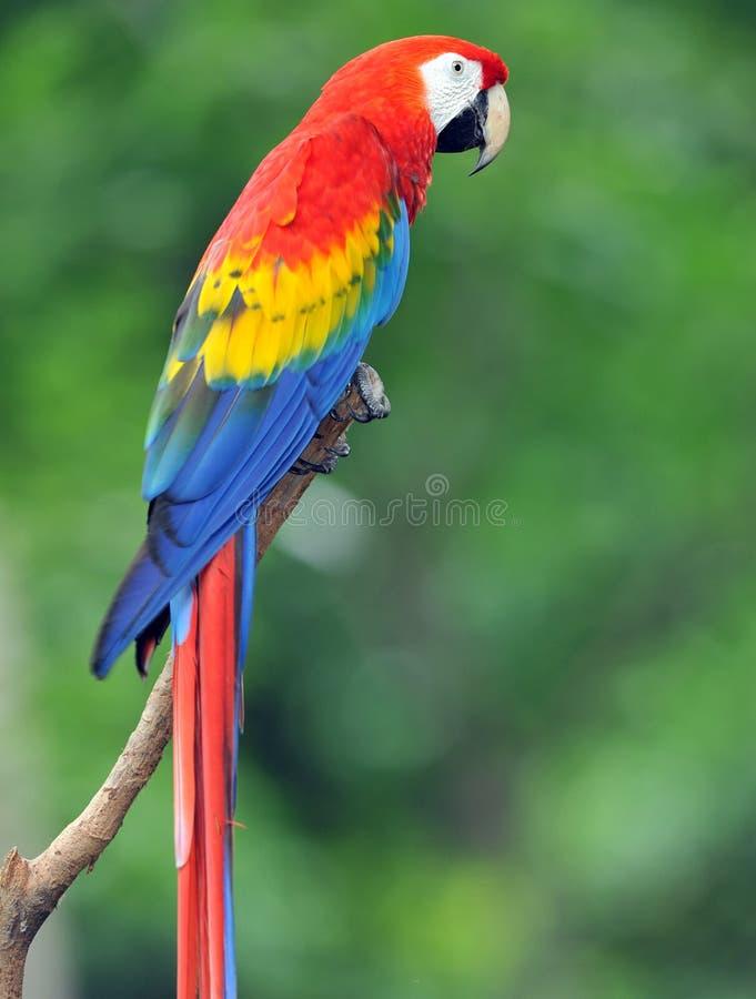 肋前缘金刚鹦鹉壮观的rica猩红色结构੨ 图库摄影