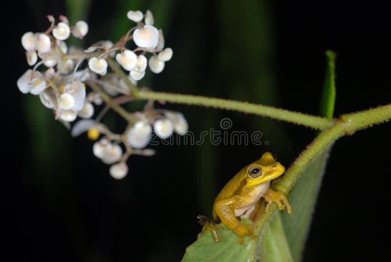 肋前缘青蛙叶子rica结构树黄色 免版税库存图片