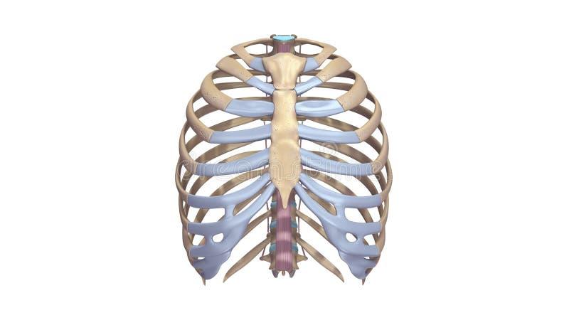 肋骨有Ligments先前视图 皇族释放例证