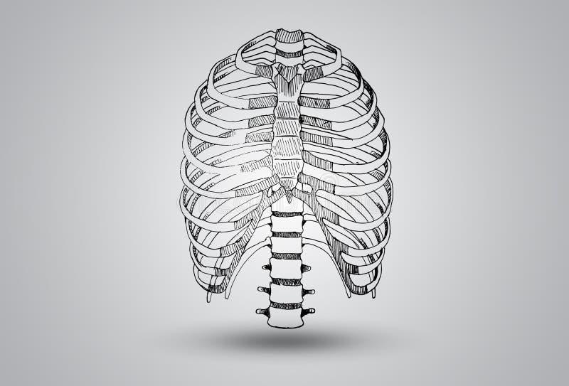 肋骨清楚的发音例证 向量例证