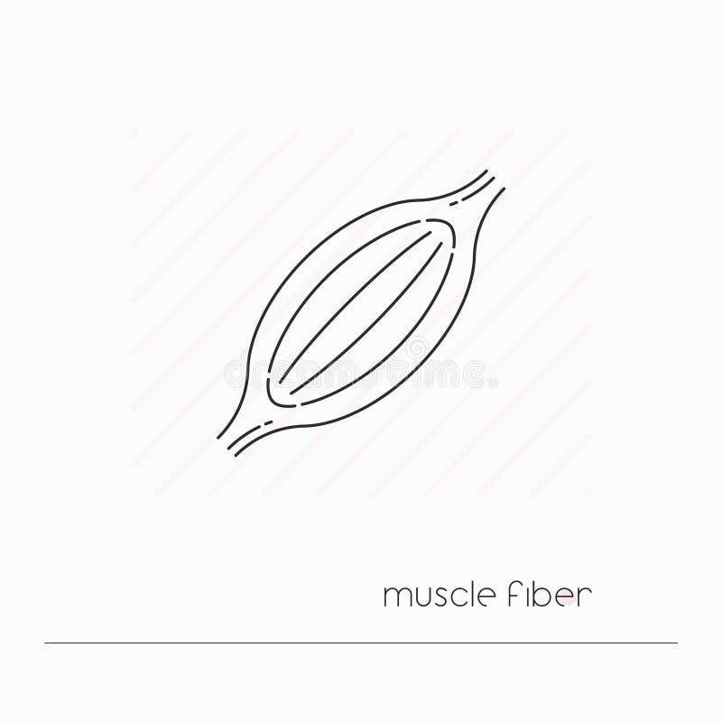 肌纤维象隔绝了 唯一稀薄的线肌肉标志  向量例证