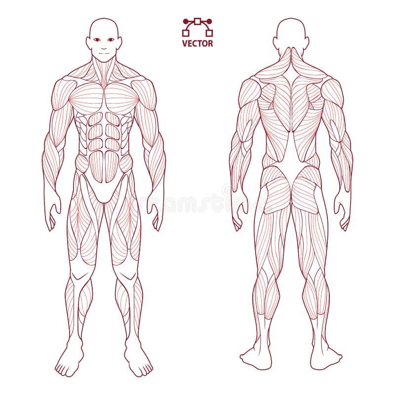 肌肉人体解剖学男性人,前面和后面肌肉系统  训练医疗保健健身房平的医疗计划海报, 向量例证