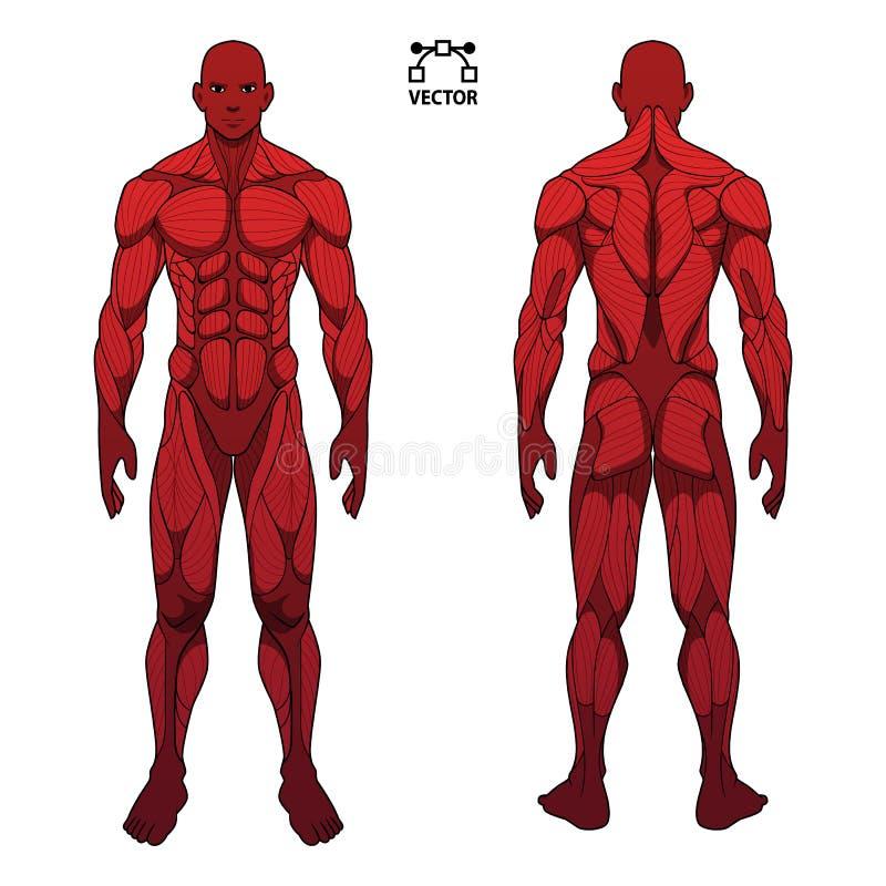 肌肉人体解剖学男性人,前面和后面肌肉系统  训练医疗保健健身房平的医疗计划海报, 库存例证