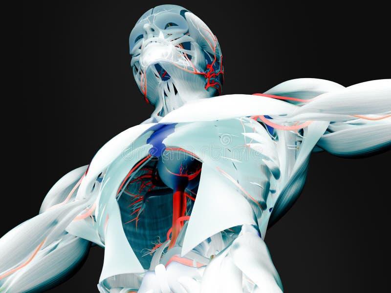 肌肉和动脉解剖学  库存照片