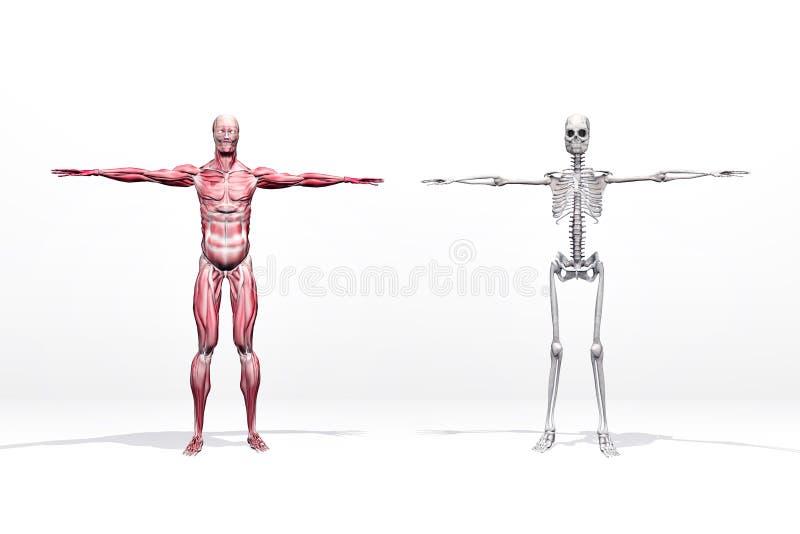 肌肉和概要 向量例证