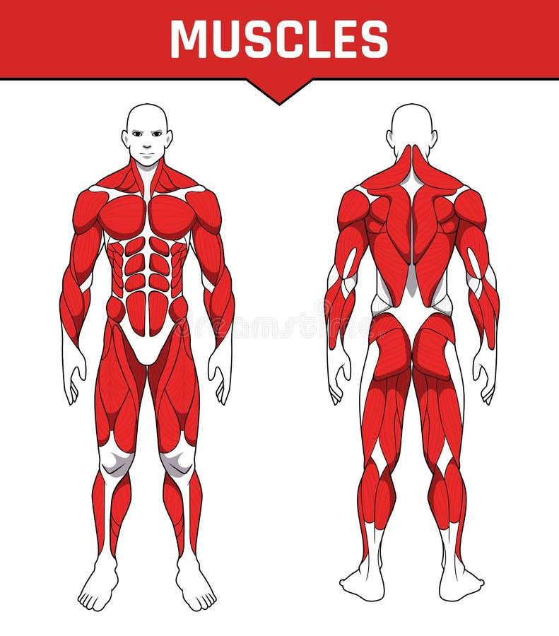 肌肉小组零件人体解剖学锻炼,前面和后面肌肉系统  训练healthc平的医疗计划海报  库存例证