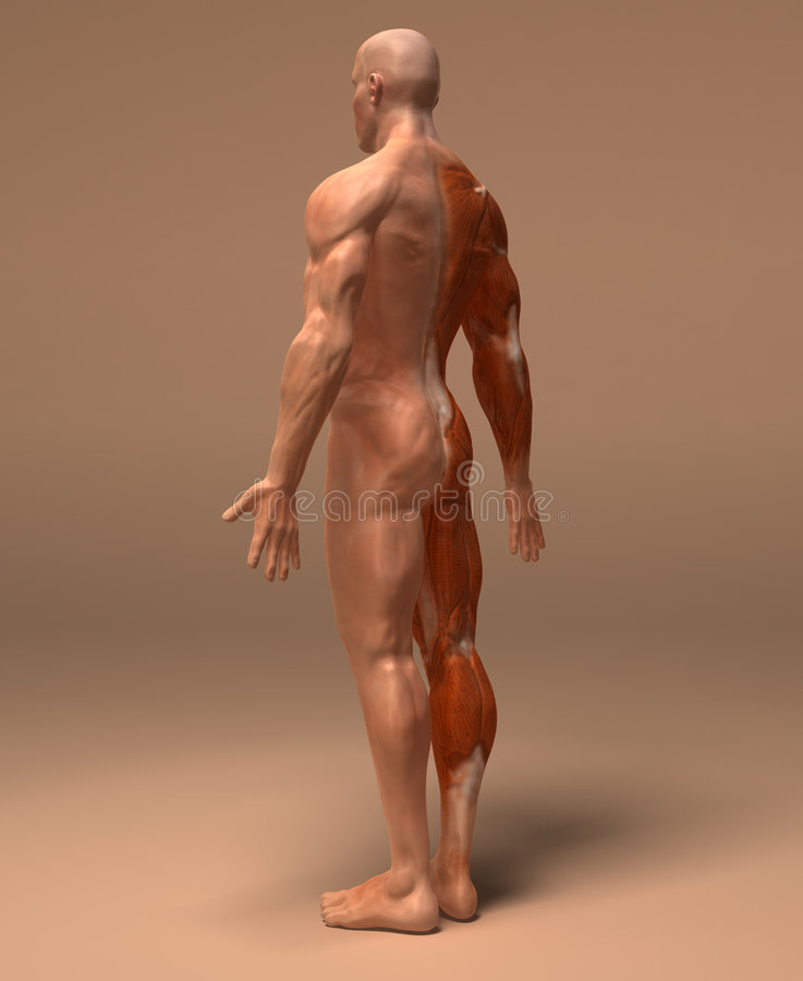 肌肉系统 库存例证
