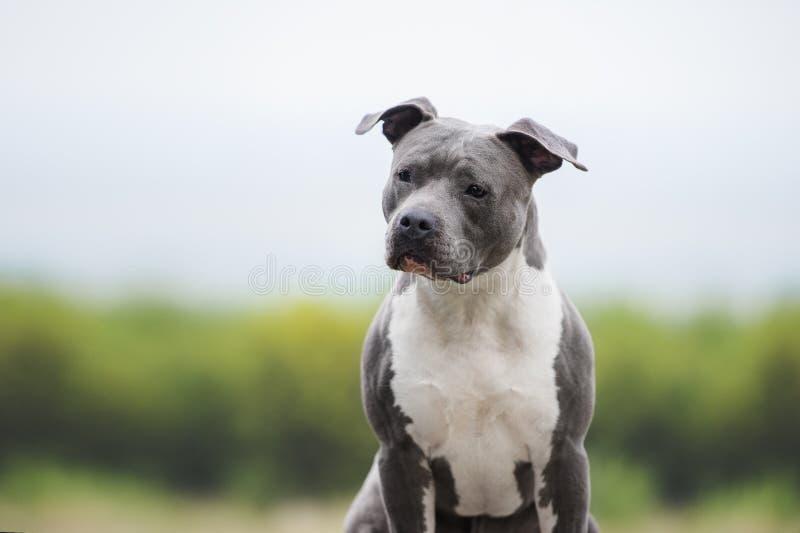 肌肉蓝色狗画象  在模糊的背景的美国斯塔福德郡狗 免版税库存图片