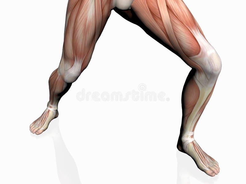 Download 肌肉解剖学的人 库存例证. 插画 包括有 前面, 肌肉, 教育, 传记, 研究, 健身, 医学, 犰狳, 胸口 - 193155