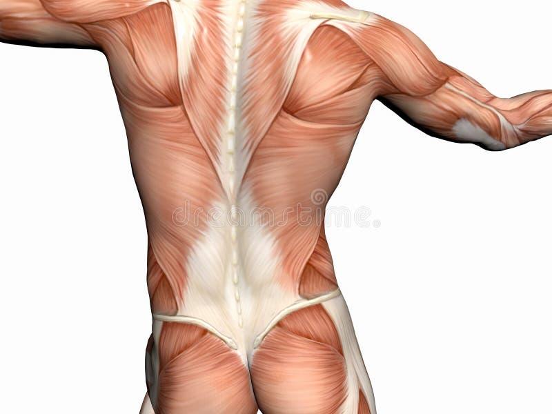 Download 肌肉解剖学的人 库存例证. 插画 包括有 男性, 爱好健美者, backarrow, 赤裸, 躯干, 胸口, 培训 - 193158