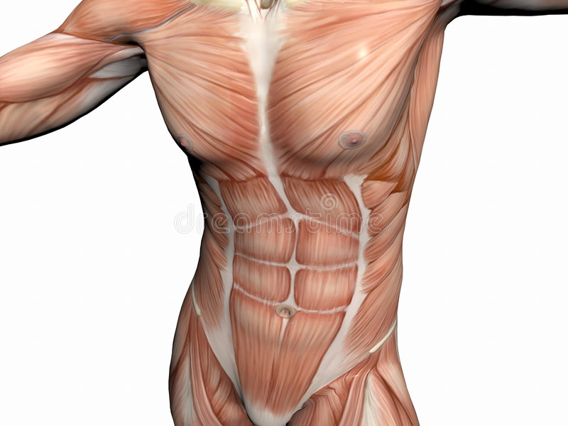 Download 肌肉解剖学的人 库存例证. 插画 包括有 教育, 背包, 医学, 女主持人, 肌肉, 前面, 行程, 胸口, 健身 - 193159