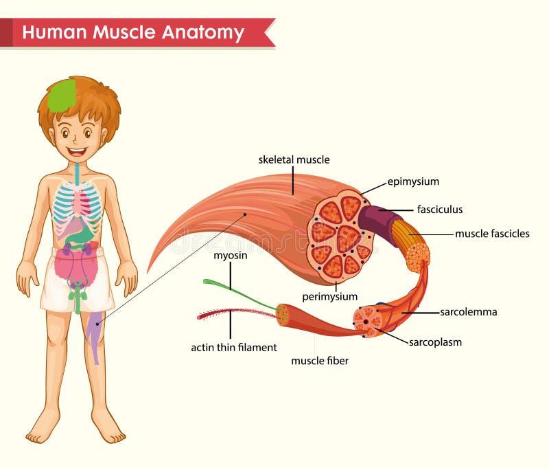 肌肉解剖学的科学医疗例证 库存例证