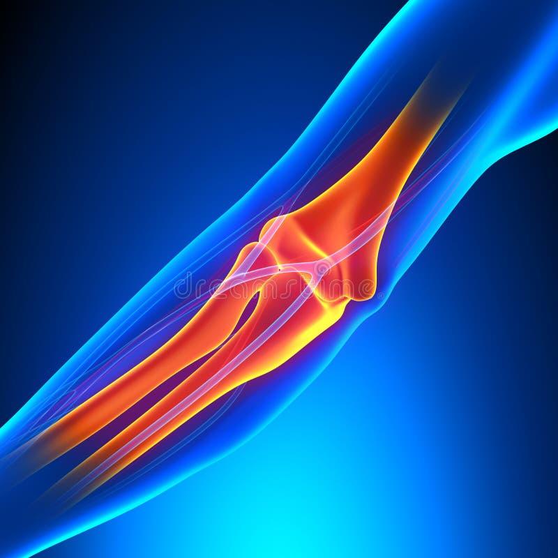 肘关节解剖学-详述与循环系统 库存例证