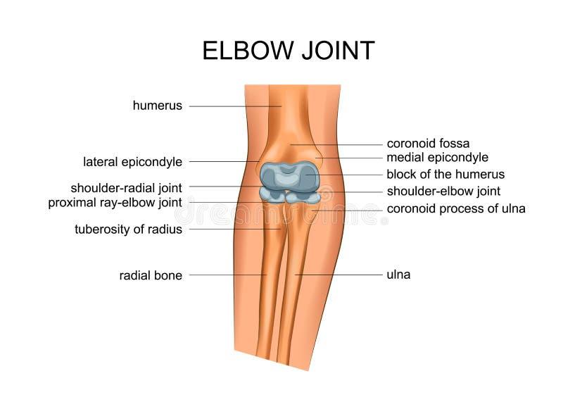 肘关节解剖学  皇族释放例证