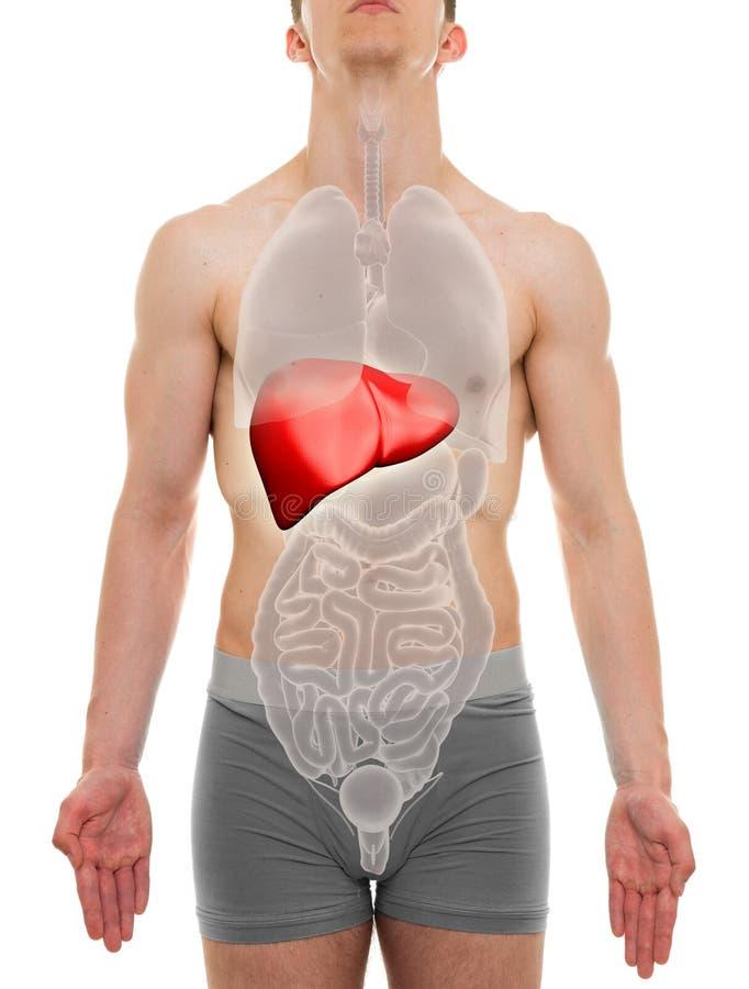 肝脏男性-内脏解剖学- 3D例证 库存图片
