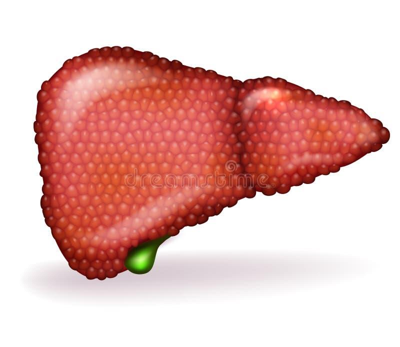 肝脏病 库存例证