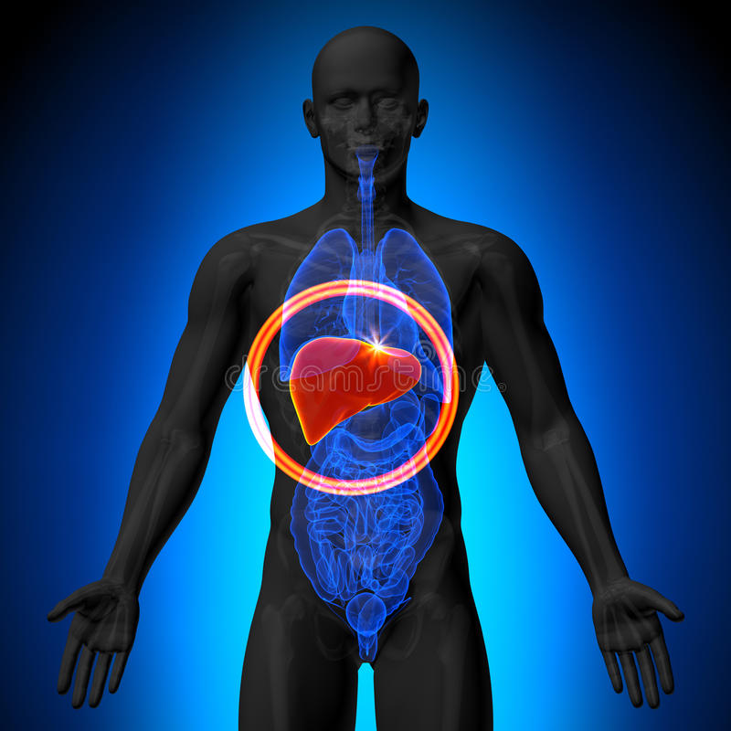 肝脏-人体器官男性解剖学- X-射线视图 皇族释放例证