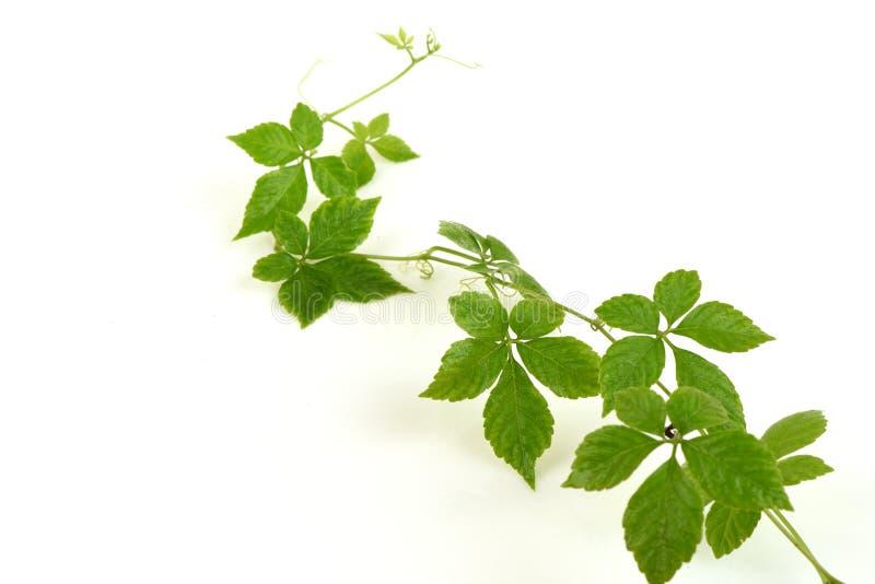 绞股兰中国名字Gynostemma pentaphyllum Thunb Makino,新鲜的叶子 库存图片