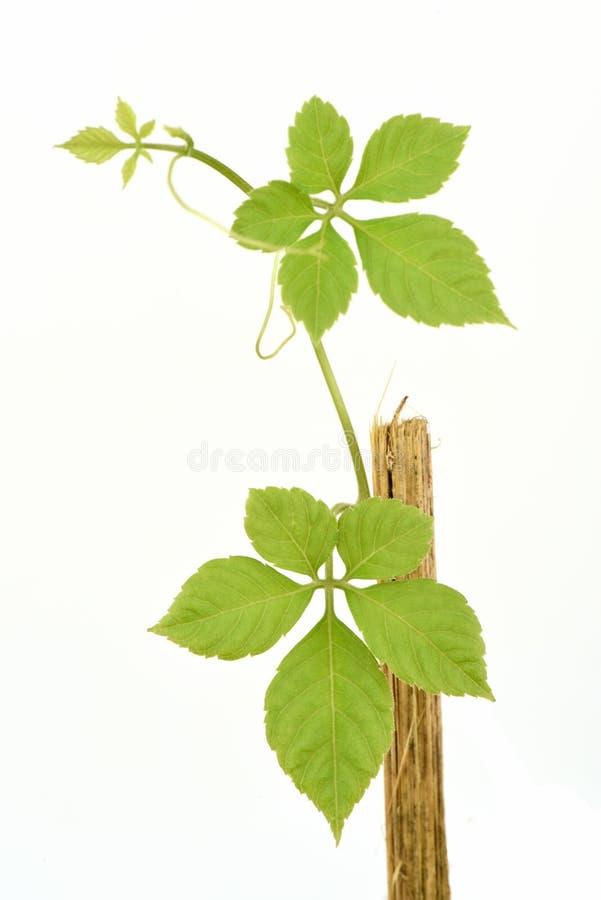 绞股兰, Gynostemma,奇迹草,南部的人参, 5叶子人参, Penta茶,树 免版税图库摄影