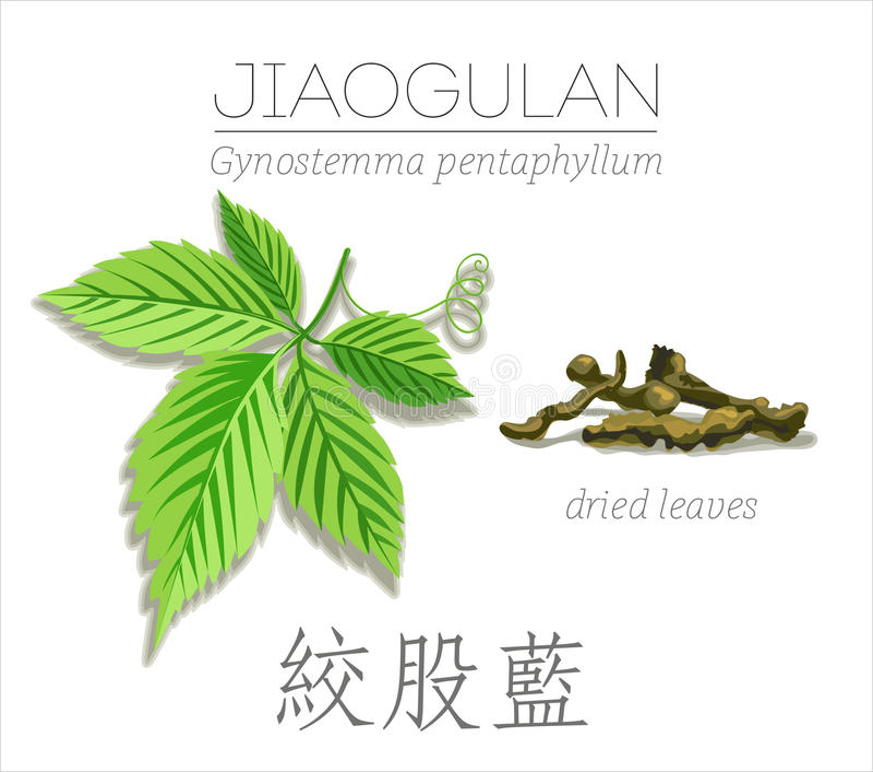 绞股兰 Gynostemma pentaphyllum 图库摄影